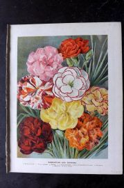 Wright C1900 Antique Botanical Print. Carnations and Picotees